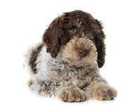 Toilettage Lagotto (sorry only in German)
