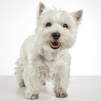 West Highland Terrier (sorry only in German)